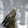 Juvenile Bald Eagle Profile
