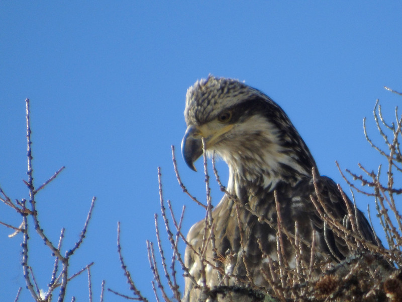 A Very Young Bald Eagle