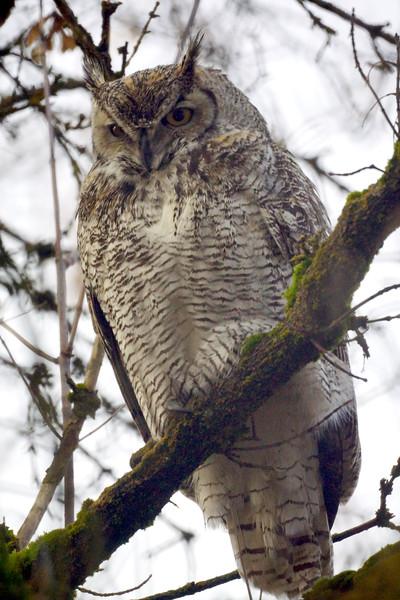 Horned Owl Stare