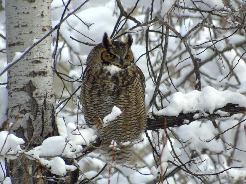 Horned Owl Watching the Neighborhood