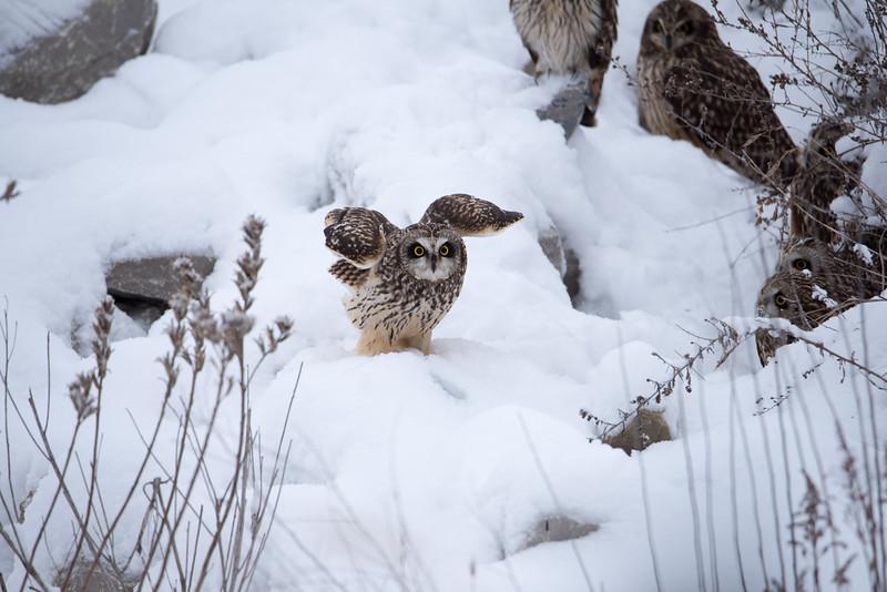 Short Eared Owl Owls January 15, 2018 Sullivan County, Indiana