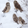 Short Eared Owl Owls January 15, 2018 Sullivan County, Indiana