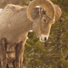 Big Horn Sheep Curl