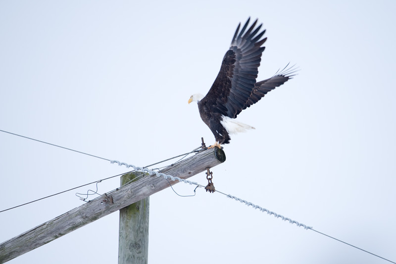 Bald Eagle On Utility Pole Southern Vigo County Winter