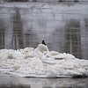 Crow on Icy Wabash River Terre Haute