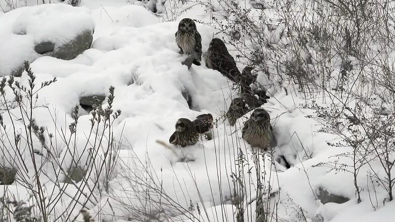 Short Eared Owls January 15, 2018 Brendan Kearns