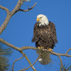 Ruffled Bald Eagle