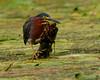 081118 Chipman Pond Green Heron From Kayak