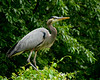 052818 Bombay Hook NWR Great Blue Heron