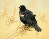 052818 Bombay Hook NWR Red Winged Blackbird