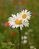 052618 Route 24 UCMC Roadside Wildflowers
