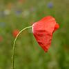 060318 Rt. 24 UCMC Roadside Poppy in the Rain