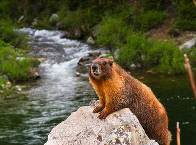 marmot: very curious animals