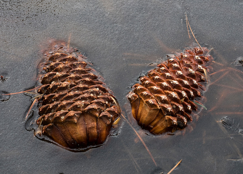 pinecones in the ice