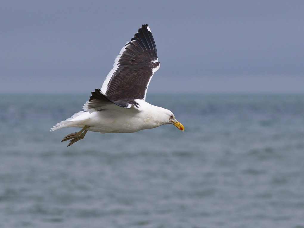 B Grade Merit, Barbara Lee - Southern black-backed gull