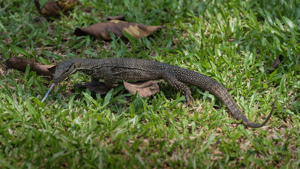 B Grade Merit, Mark Philips - Clouded monitor lizard (Varanus nebulous)