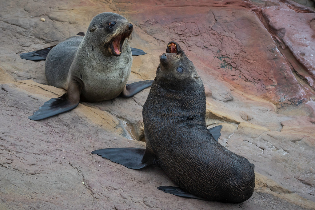 A Grade Honours, Chris Watson - New Zealand fur seal