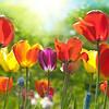 Summer Tulips