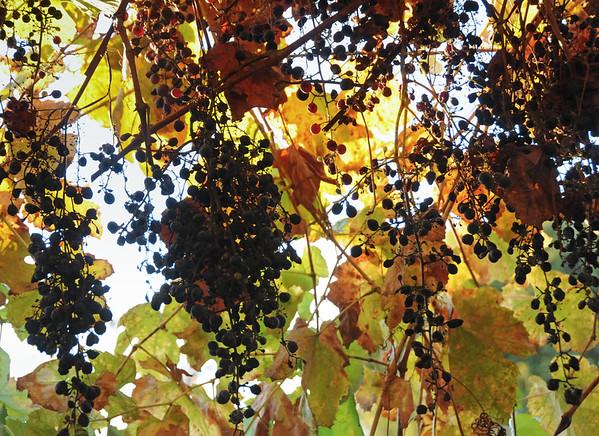 Grapes Leaves in December, SJC