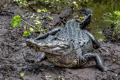04,DA077,DN,Florida Gator,-4