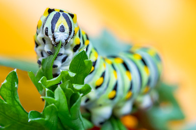 DA022,DN,Black Swallowtail Caterpillar