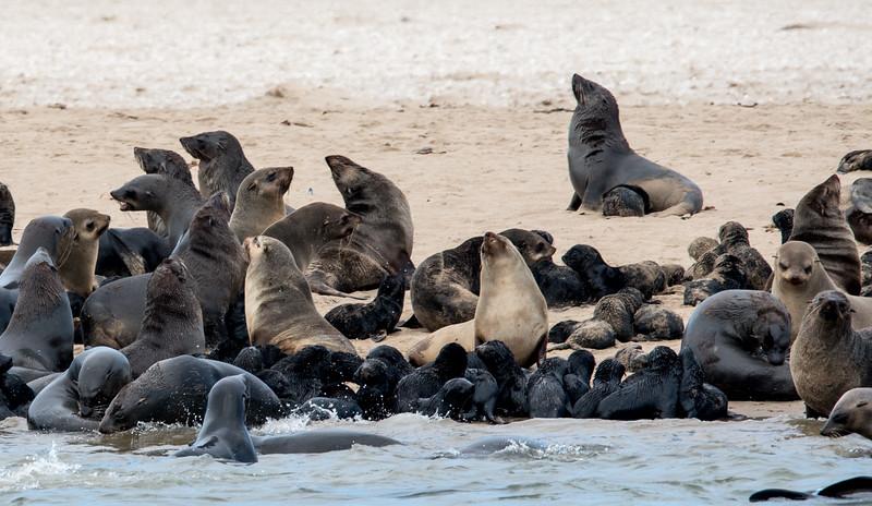 Seal Colony, Walvis Bay