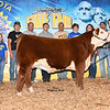 Champ_JuniorHerefordSteer_Hellman