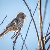 house finch tiny bird perched on a tree
