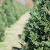 sunny day at christmas tree farm in south carolina