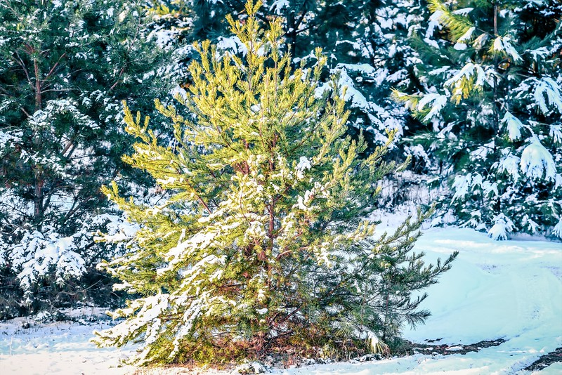 evergreen plants covered in snow in january after winter storm