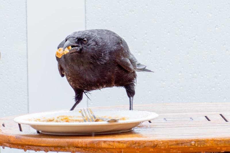 crow looking for food on alaskan cruise ship
