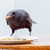 crow looking for food on alaskan cruise ship