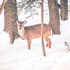 white tailed deer seeking food in snow