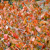 autumn orange colored leaves and foliage on a tree