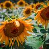 beautiful sunflower field in south carolina