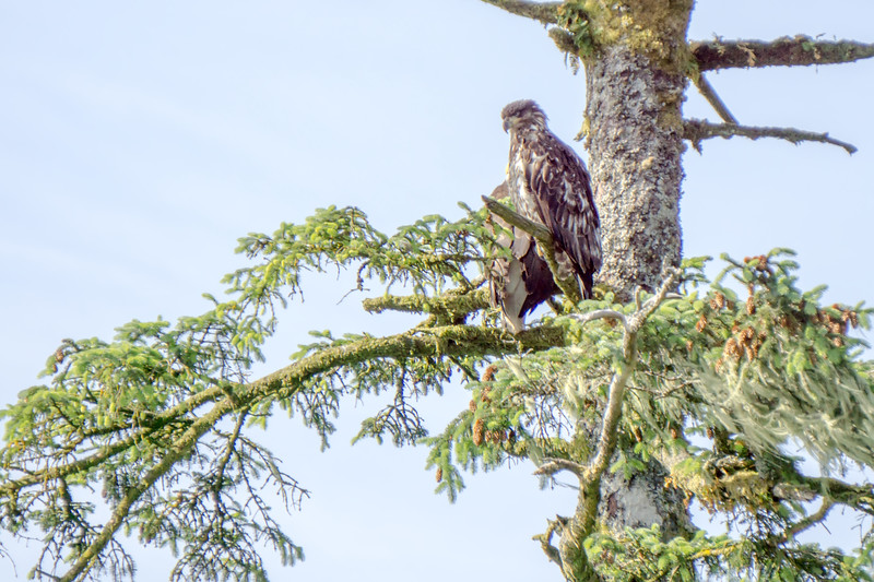 Juveniel and adult bald eagle on top of a tree
