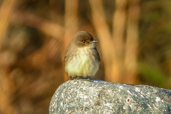 tiny little tweety song bird sitting on a rock