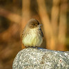 tiny little tweety song bird sitting on a rock