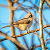 Titmouse tiny tweety bird On A Branch