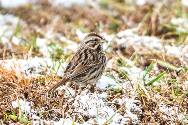 tiny little tweety bird keeping warm and playing in snow