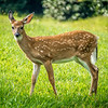 wild bembi deer fawn feeding on a meadow in mountains