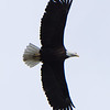 bald head eagle in flight found in alaska