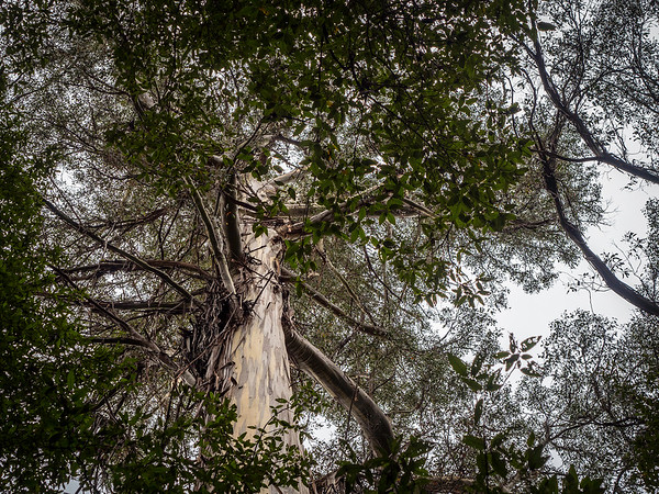 Tall Trees - Snow Gum