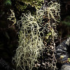 Old Man's Beard Moss