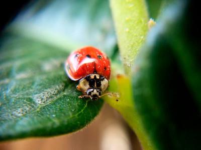 5_20_2018 Ladybug Close Up