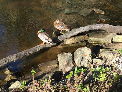 5_27_2018 Two Ducks Napping