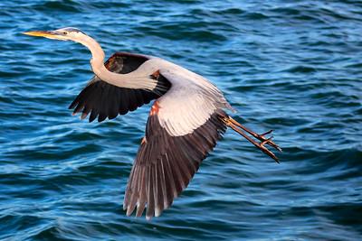 5_25_2018 Great Blue Heron in Flight