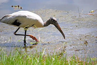 5_28_2018 Hungry Wood Stork