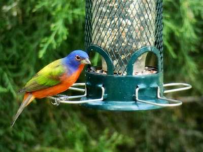 5_23_18 Painted Bunting Bird