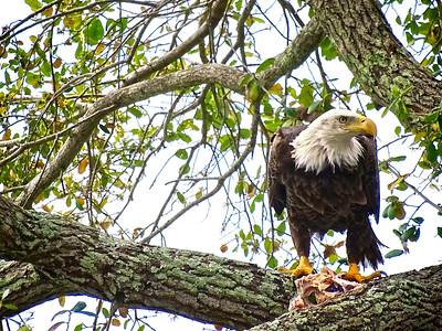 5_31_2018 Bald Eagle in the Back Yard